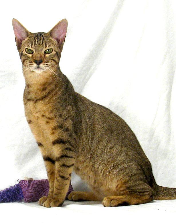 Savannah Cat F7C