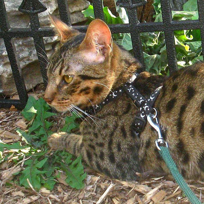 F4SBT Savannah cat